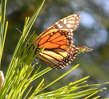 Viceroy Butterfly, I think! by Navigator