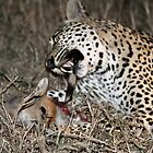 Leopard/duiker interaction 6-the end by jozi1