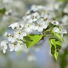 Washington Hawthorn Blooms with Hover Fly by DonCondley