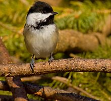 Brush Pile Chickadee by Jeff Weymier