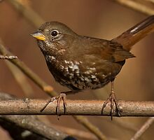 Foxy Fox Sparrow by Jeff Weymier