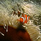 Defensive Clown Fish by Paul Duckett