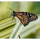 monarch butterfly 6 by bluetaipan