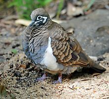 Squatter Pigeon. Queensland, Australia. (Endangered Species) by Ralph de Zilva