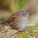 Dunnock by Margaret S Sweeny