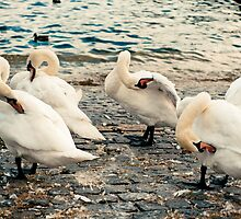Lake Zurich Swans by Hugh O'Brien
