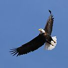 Bald Eagle in Flight by Ron Kube