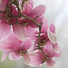 Pink Magnolia blooms by Ruth Lambert