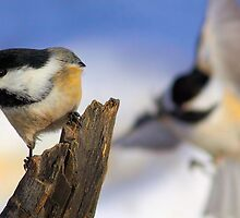 Chickadee Bump  by JamesA1