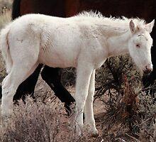 Rare Wild White Foal Close up by SB  Sullivan