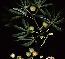 Wild Paw-Paw leafs and seeds... / Wilde Papaja blare en sade... by Qnita