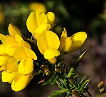 Yellow Gorse ~ Charmouth, Dorset by Susie Peek