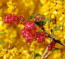 Red flower in flowering forsythia shrub by Magdalena Warmuz-Dent