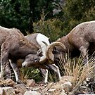 bighorn Sheep 7 by jeff welton