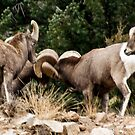 Bighorn Sheep 8 by jeff welton