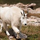 Mountain Goat 1 by jeff welton
