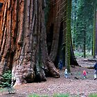 Sequoia Trees by Ross Campbell