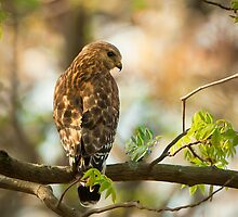 Red Shouldered Hawk On The Hunt by Joe Jennelle