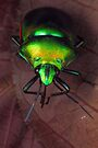 Shield-backed bug by jimmy hoffman