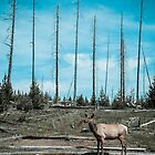 Yellowstone Deer by alwatkins1