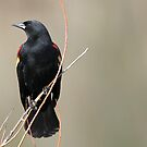 Red Winged Blackbird by Gregg Williams