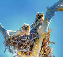 Great Horned Owl Chicks by Frank Bibbins