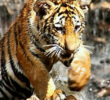 Bengal Tiger Cub Enjoying Water Play  by Carole-Anne