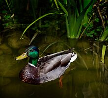 Mr. Mallard on the pond by Celeste Mookherjee