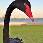 Naughty black swan by Keri Buckland