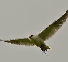 """ Black Shouldered Kite "" by helmutk"