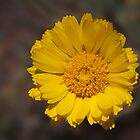 Desert Sunflower by Richard G Witham