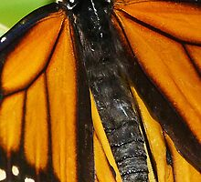 A Monarch's Magnificent Markings by Margaret Saheed