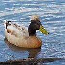 Crested Duck by Jennie L. Richards