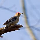 Young, Red Bellied Woodpecker by Janika