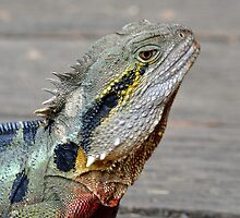 The Australian Eastern Water Dragon. Brisbane, Queensland, Australia. by Ralph de Zilva