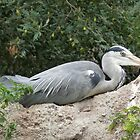 Grey Heron resting by Marilyn Grimble