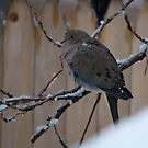 Mourning Dove in Snow by Barry Doherty