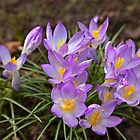 Crocus Flowers by Gary Rayner