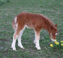 Taking time to smell the Daffodils by Chris Snyder