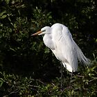 Snowy Egret perched by Jim Cumming