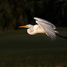 First Light - Great White Egret by Jim Cumming