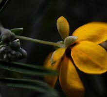 Senna artemisioides ssp. sturtii by andrachne