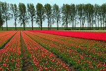 Tulip Landscape by Jo Nijenhuis