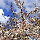 Blue skies and Blossoms! by Ruth Lambert