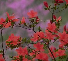 Azaleas Are Busting by bannercgtl10