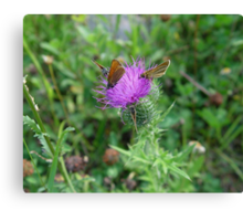 SKIPPERS IN THISTLE Canvas Print