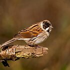 Reed Bunting by M.S. Photography & Art