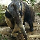 Anteater takes a bow by Anthony Brewer