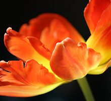 Tulip in Flames by karina5
