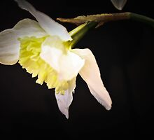 Daffodil drooping head on black  by KSKphotography